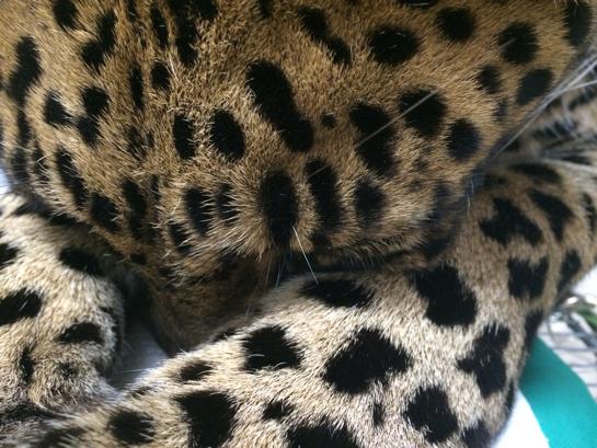 Armani-Leopard-Vet-_6995