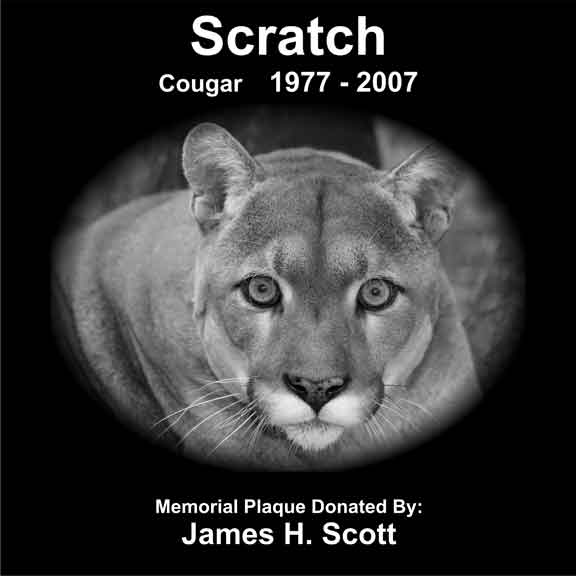 Scratch the oldest cougar