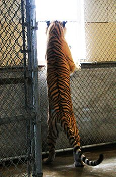 Stop Big Cat Abuse Tiger Shed