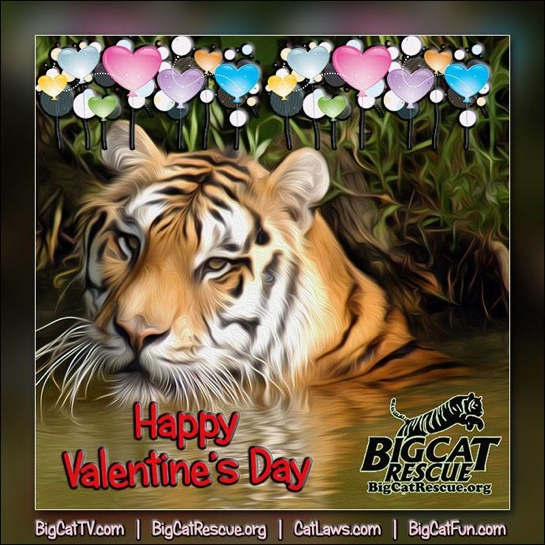 Valentines Day Shere Khan Tiger