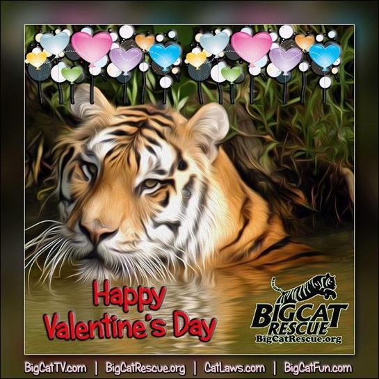 Now at Big Cat Rescue Feb 14 2014
