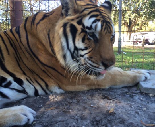 Vet-ShereKhan-Tiger_7208