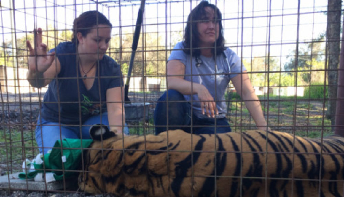 Vet-ShereKhan-Tiger_7238
