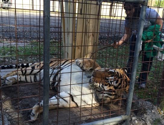 Vet-ShereKhan-Tiger_7253