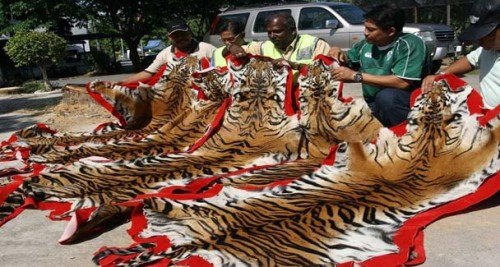 Officials display the tiger skins seized in the northern Malaysian state of Kedah, near the Malaysia-Thai border