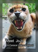 Free book about a hybrid cat named JoJo