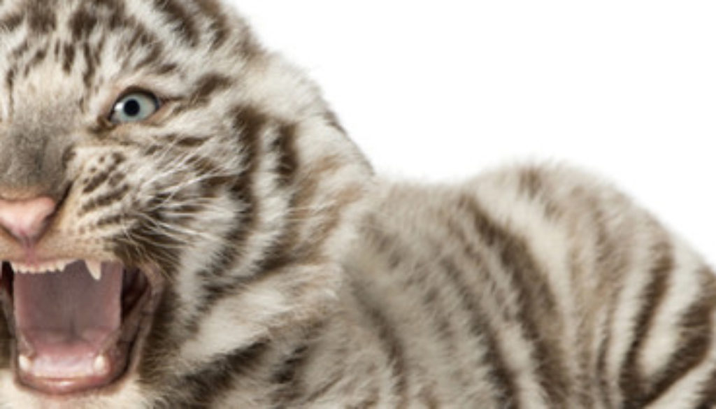 White tiger cub roaring