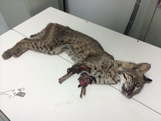 Bobcat-Both-Legs-Gone