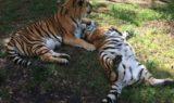 Tigers Shere Khan China Doll - 4