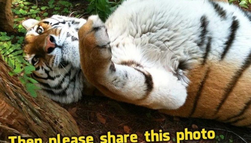 Facebook Tiger