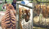 Jnk Tiger Rescue