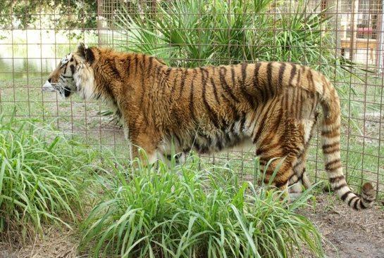Kimba-Tiger-Day1a