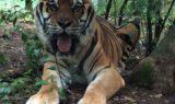 Shere Khan Tiger 2014 May 2