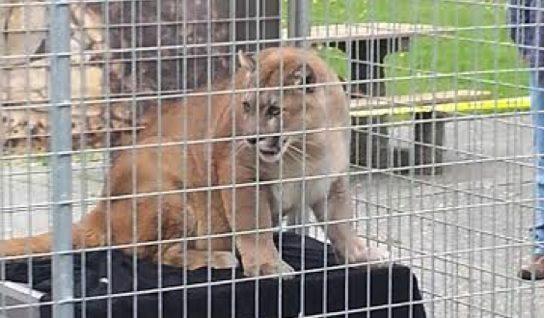 Abuse-Cougar-exhibit-college-Washington