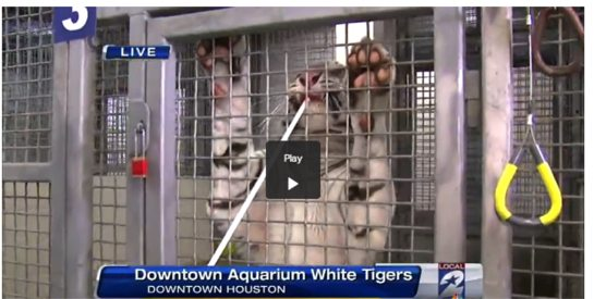 Abuse-White-tiger-Houston-Aquarium