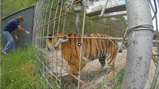 Keisha-Tiger-JnK-2014-b