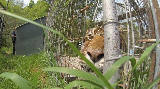 Keisha-Tiger-JnK-2014-e