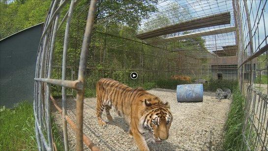 Keisha-Tiger-JnK-2014-f