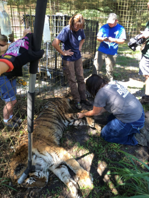 Kimba-Tiger-2014-6-10-b