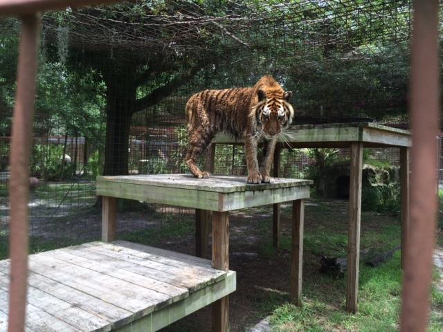 Kimba-Tiger-BackOut-2014-6-12a