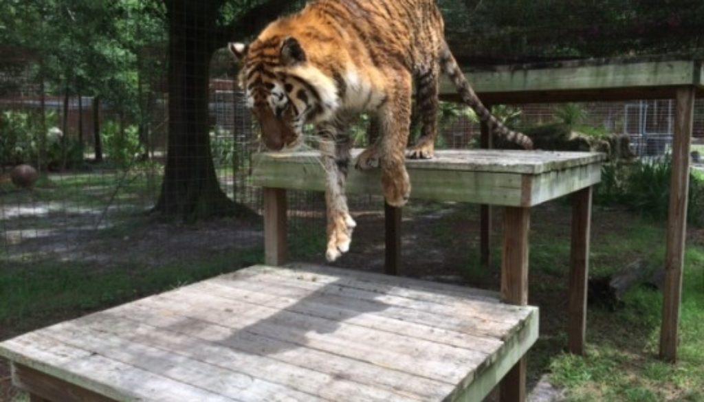 Kimba-Tiger-BackOut-2014-6-12b