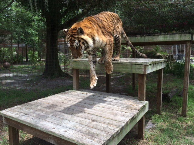 Now at Big Cat Rescue June 12 2014