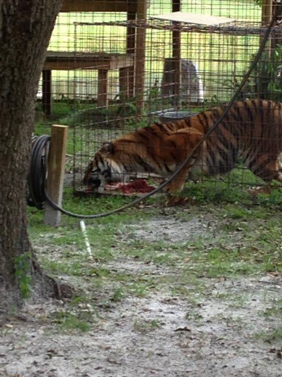 Keisha Tiger Eating Dinner