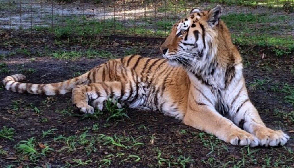 Kimba the tiger is so thin