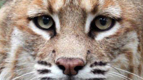 Bobcat-MrHowell