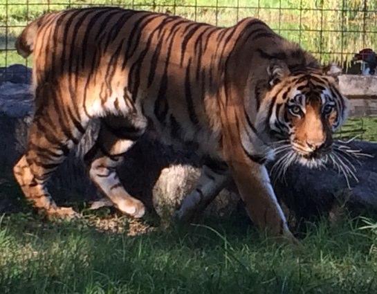 Keisha-Tiger-2014-06-08a