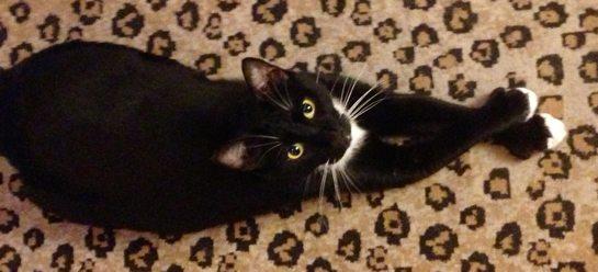 Regal tuxedo cat