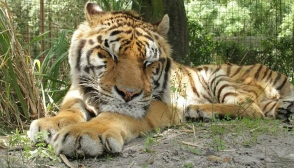 Zeus Tiger | Big Cat Rescue