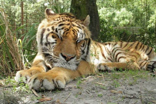 Actress' tiger that mauled caretaker came from notorious Colton