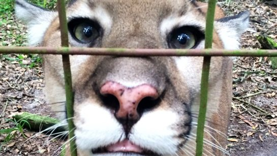 Now at Big Cat Rescue Aug 3 2014