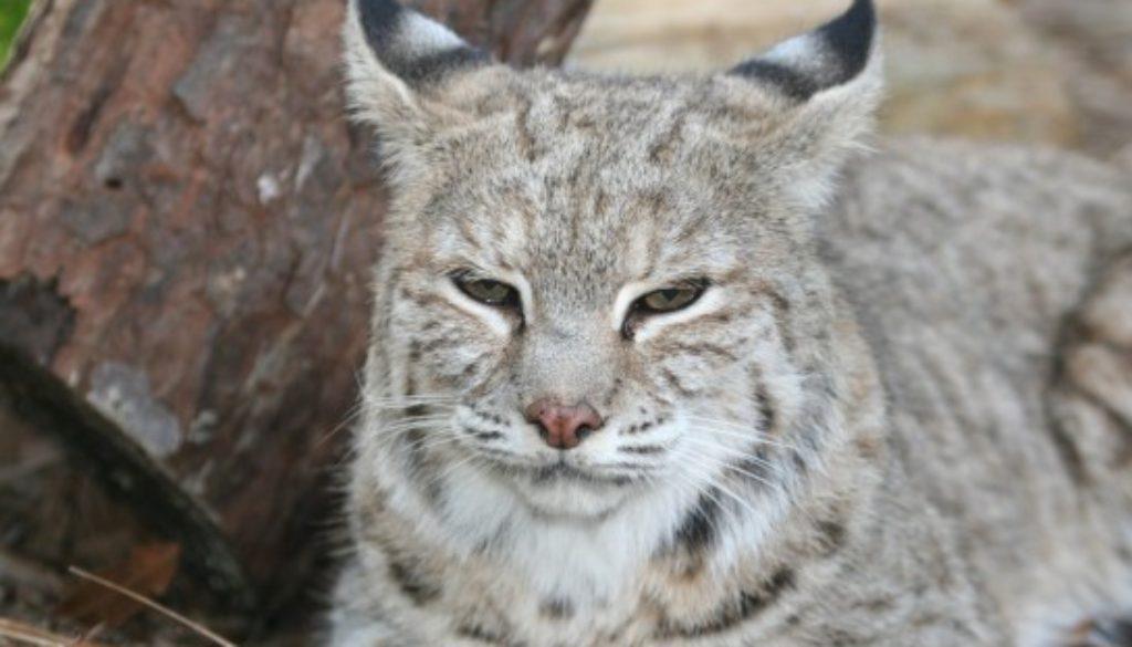 Bobcat Photo Windsong