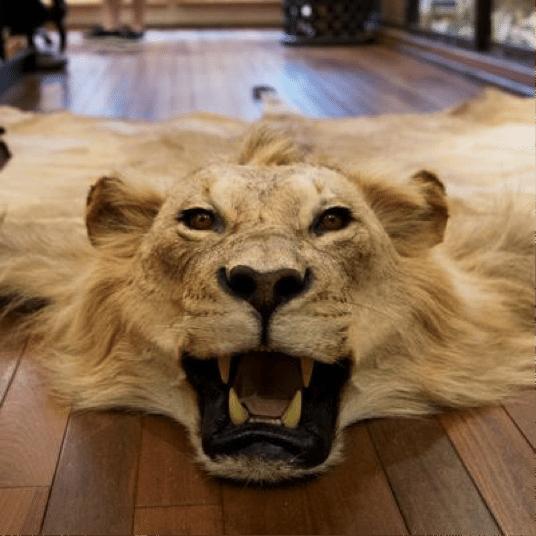 Lion Skin Rug