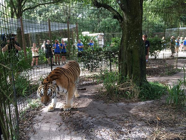 Kali-Tiger-Arrival-07