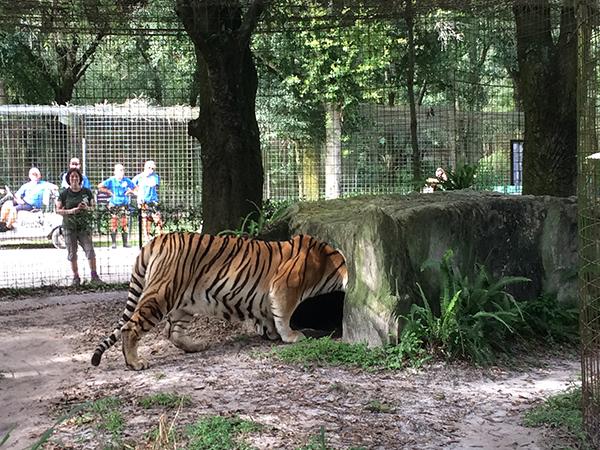 Kali-Tiger-Arrival-09
