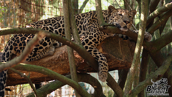 Reno Leopard in a tree