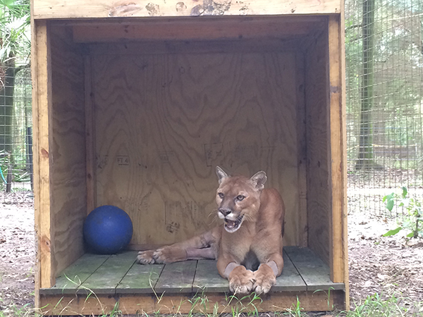 Now at Big Cat Rescue Sept 9 2014