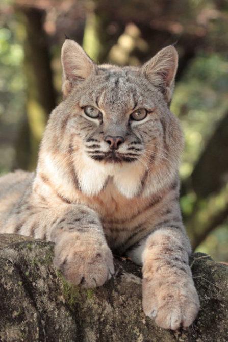 Apache-Bobcat