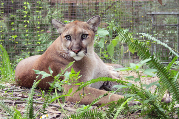 Join Big Cat Rescue to Support FL Panthers in Ft Lauderdale