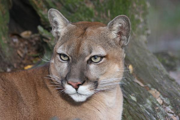 Cougars At Big Cat Rescue