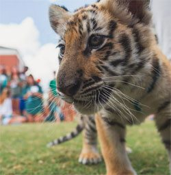 Tiger cub on Auburn University's campus this month