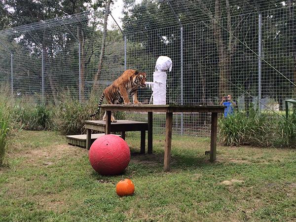 Enrichment-Tiger-Bengali-Halloween-Mummy_1170