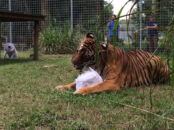 Enrichment-Tiger-Bengali-Halloween-Mummy_1175