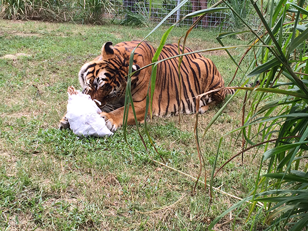 Enrichment-Tiger-Bengali-Halloween-Mummy_1176