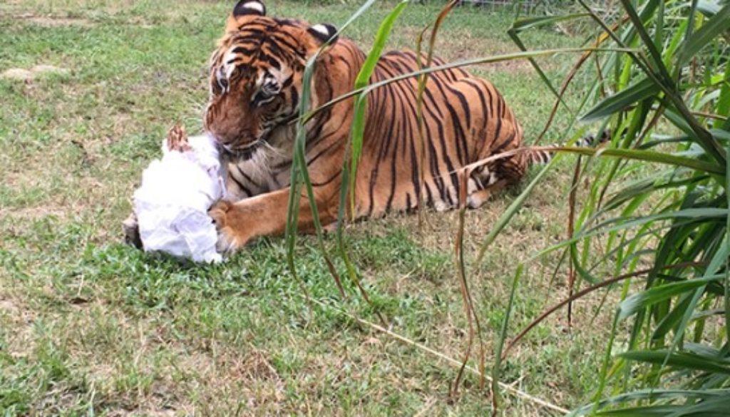 Enrichment-Tiger-Bengali-Halloween-Mummy_1177