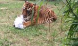 Enrichment-Tiger-Bengali-Halloween-Mummy_1177