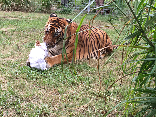 Now at Big Cat Rescue Oct 7 2014